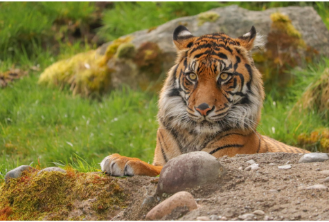 A sumatran tiger relaxes in the sun while staring at the people watching him at the Point Defiance Zoo and Aquarium in Tacoma, Washington.