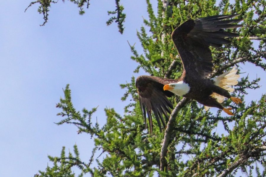 A bald eagle flies from a tree to steal a fish that an osprey caught at Diamond Lake Washington.